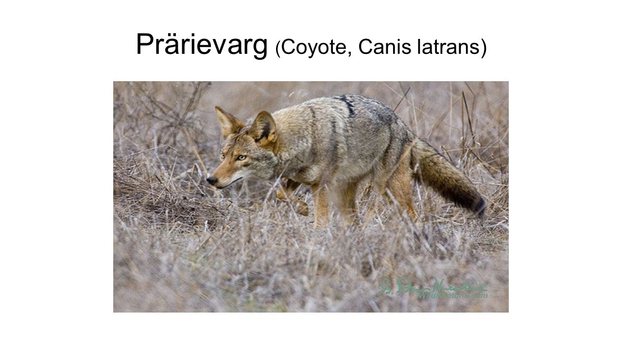 Prärievarg ( Coyote, Canis latrans)