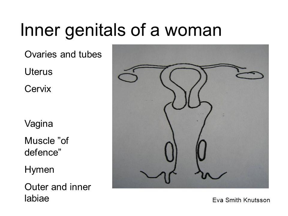 The genitals of a man Eva Smith Knutsson