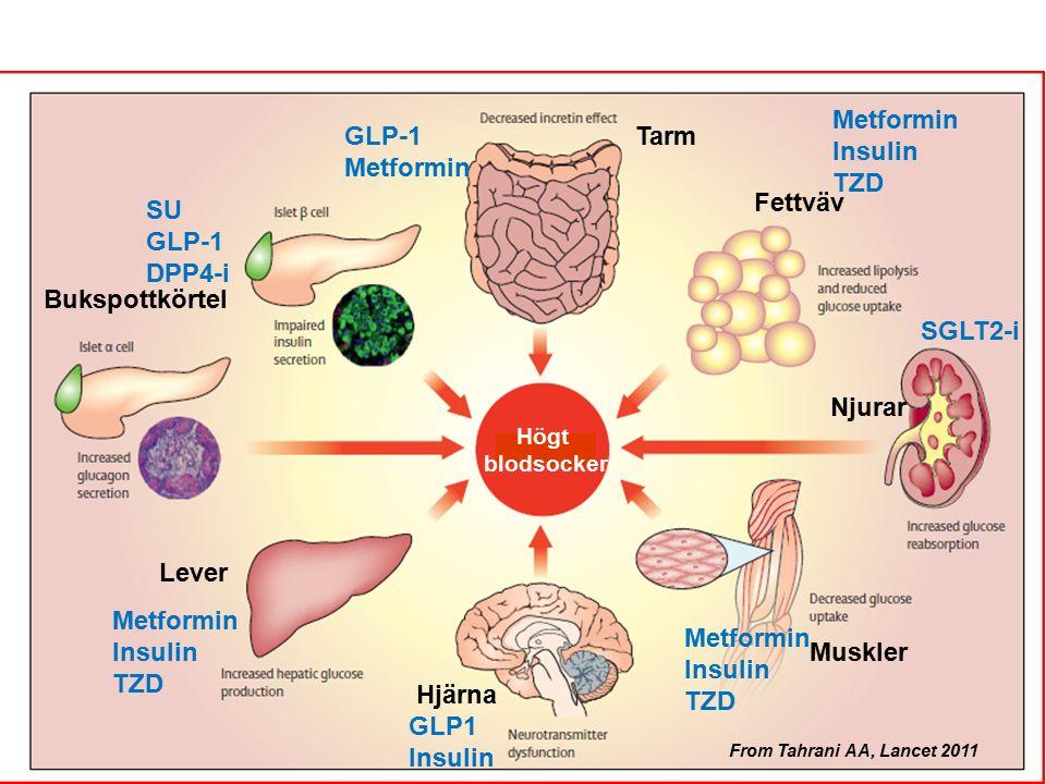 Viktiga organ vid 2-diabetes = Mål för läkemedel 12 From Tahrani AA, Lancet 2011 Bukspottkörtel Muskler Hjärna Lever Njurar Fettväv Tarm Högt blodsocker GLP-1 Metformin Insulin TZD SGLT2-i Metformin Insulin TZD SU GLP-1 DPP4-i GLP1 Insulin Metformin Insulin TZD