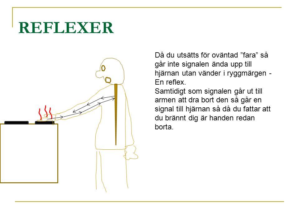 REFLEXER Då du utsätts för oväntad fara så går inte signalen ända upp till hjärnan utan vänder i ryggmärgen - En reflex.