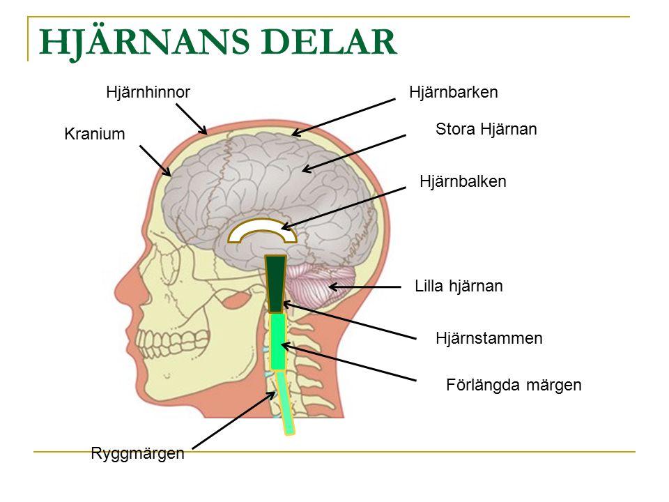 HJÄRNANS DELAR Stora Hjärnan Lilla hjärnan Hjärnstammen Ryggmärgen Förlängda märgen Hjärnbalken Hjärnhinnor Kranium Hjärnbarken