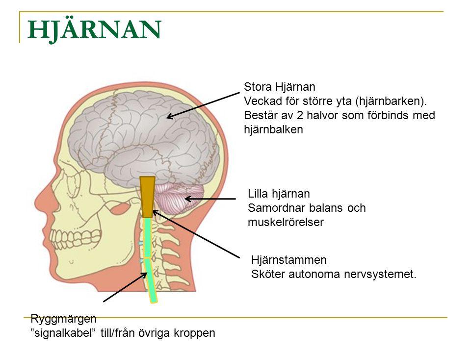 HJÄRNAN Stora Hjärnan Veckad för större yta (hjärnbarken).