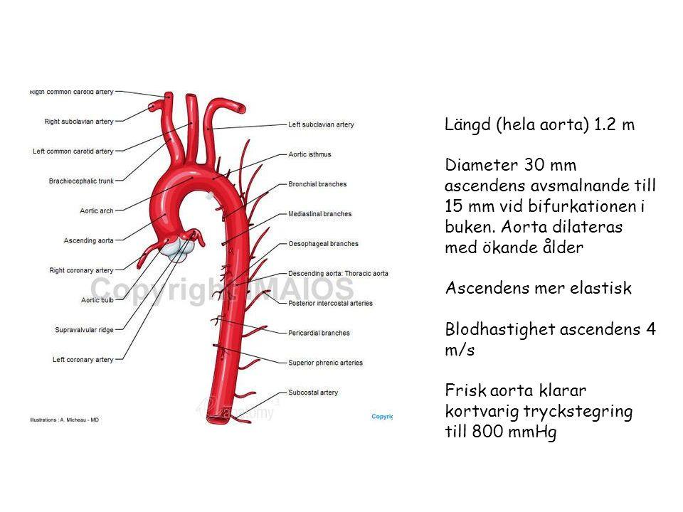 Längd (hela aorta) 1.2 m Diameter 30 mm ascendens avsmalnande till 15 mm vid bifurkationen i buken.