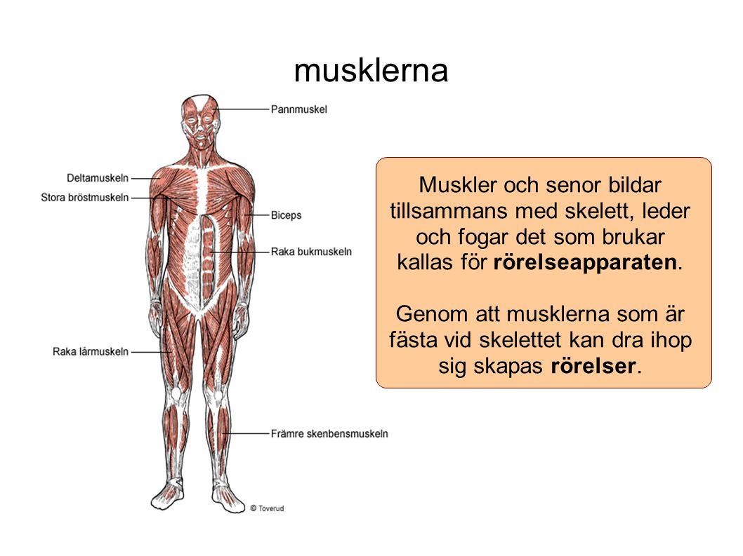 musklerna Muskler och senor bildar tillsammans med skelett, leder och fogar det som brukar kallas för rörelseapparaten. Genom att musklerna som är fäs