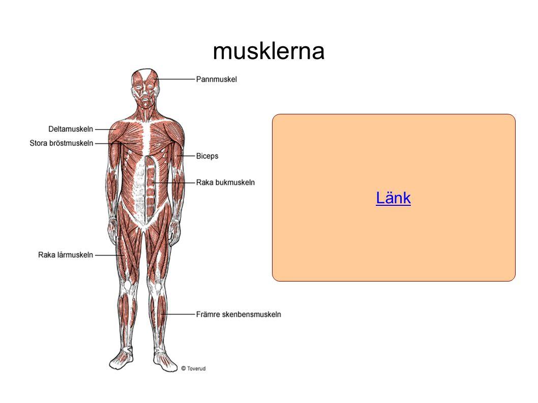 musklerna Länk