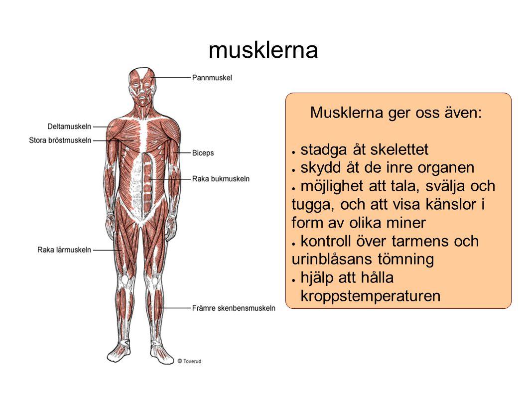 musklerna Musklerna ger oss även: ● stadga åt skelettet ● skydd åt de inre organen ● möjlighet att tala, svälja och tugga, och att visa känslor i form