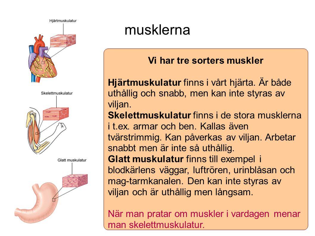 musklerna Vi har tre sorters muskler Hjärtmuskulatur finns i vårt hjärta. Är både uthållig och snabb, men kan inte styras av viljan. Skelettmuskulatur