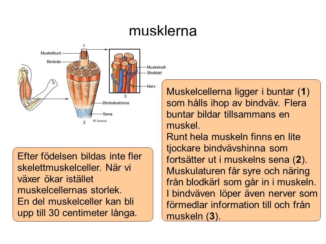 musklerna Efter födelsen bildas inte fler skelettmuskelceller. När vi växer ökar istället muskelcellernas storlek. En del muskelceller kan bli upp til