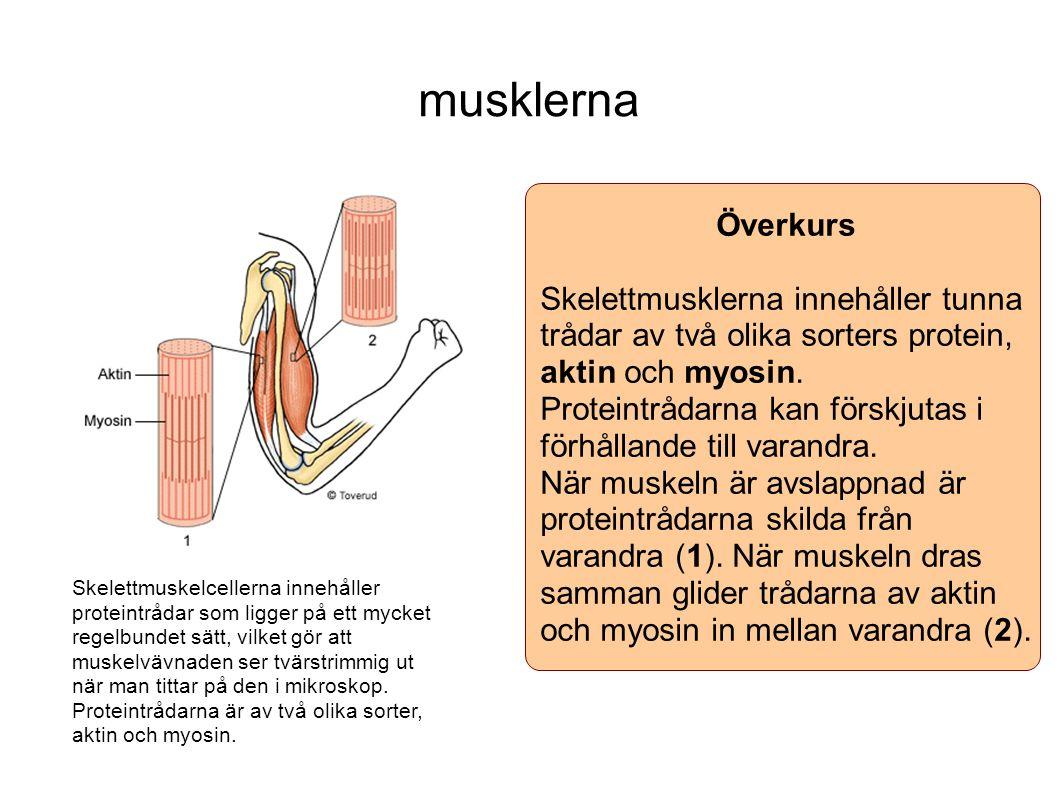 musklerna Överkurs Skelettmusklerna innehåller tunna trådar av två olika sorters protein, aktin och myosin. Proteintrådarna kan förskjutas i förhållan