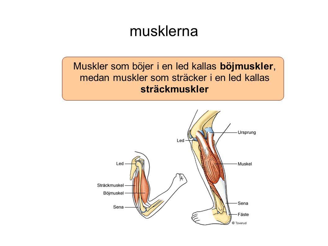 musklerna Muskler som böjer i en led kallas böjmuskler, medan muskler som sträcker i en led kallas sträckmuskler