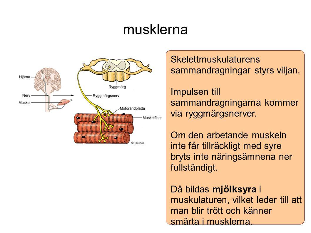 musklerna Skelettmuskulaturens sammandragningar styrs viljan. Impulsen till sammandragningarna kommer via ryggmärgsnerver. Om den arbetande muskeln in