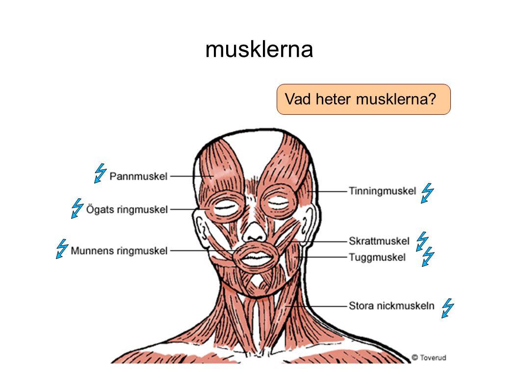 musklerna Vad heter musklerna?