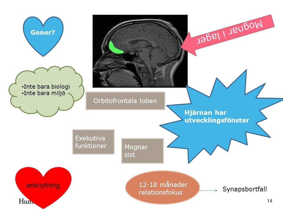 14 Hjärnan har utvecklingsfönster Synapsbortfall Inte bara biologi Inte bara miljö Gener? Orbitofrontala loben Exekutiva funktioner Mognar sist 12-18