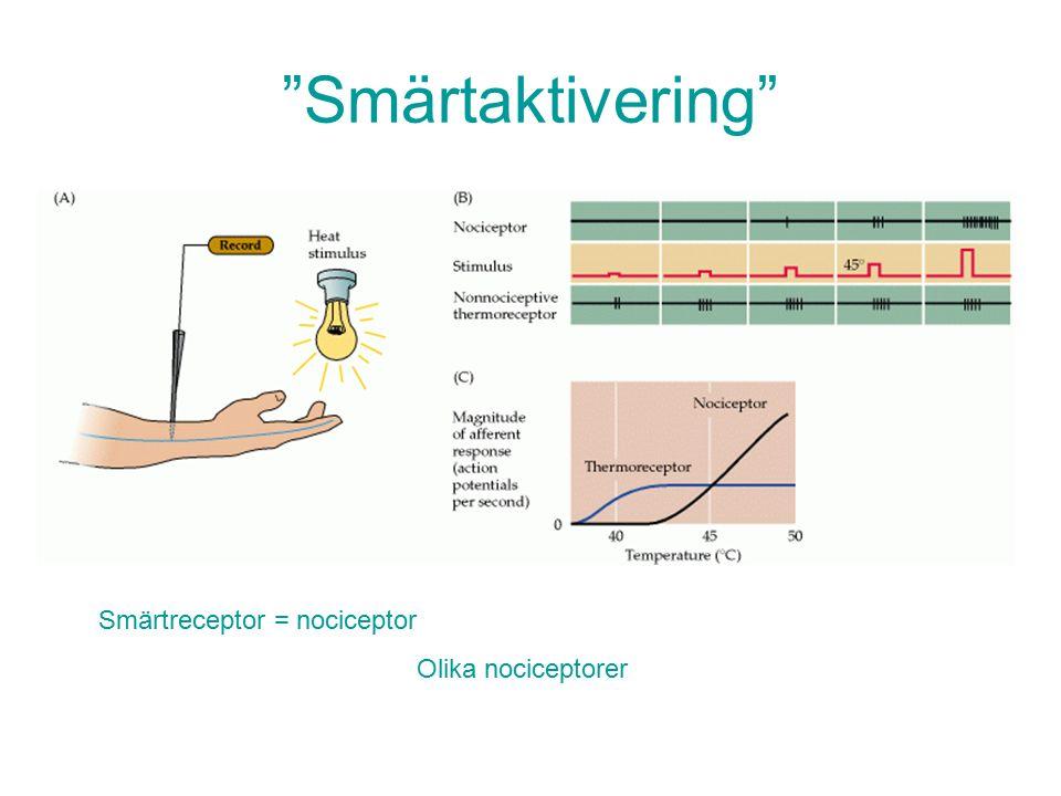 Smärtaktivering Smärtreceptor = nociceptor Olika nociceptorer