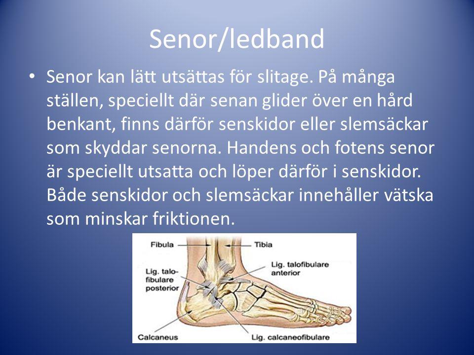 Senor/ledband Senor kan lätt utsättas för slitage. På många ställen, speciellt där senan glider över en hård benkant, finns därför senskidor eller sle