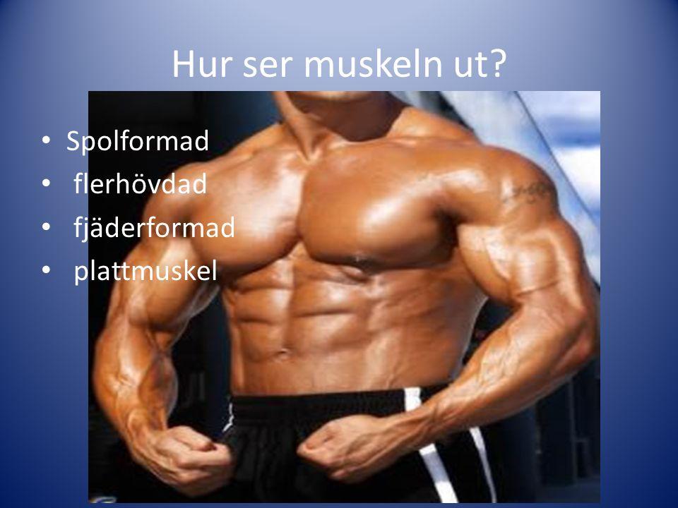 Hur ser muskeln ut? Spolformad flerhövdad fjäderformad plattmuskel