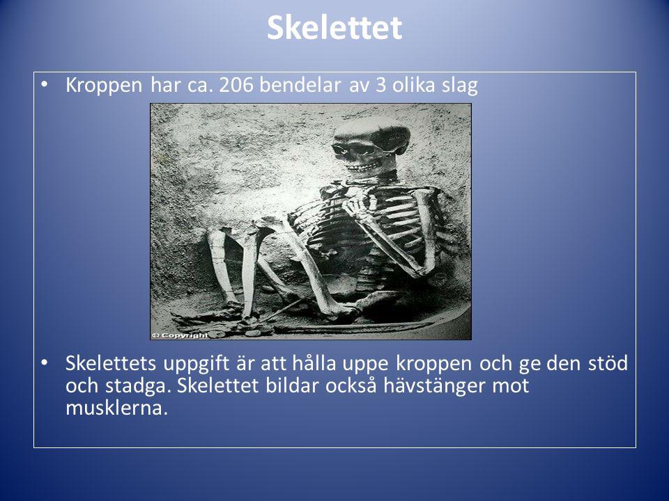 Skelettet Kroppen har ca. 206 bendelar av 3 olika slag Skelettets uppgift är att hålla uppe kroppen och ge den stöd och stadga. Skelettet bildar också