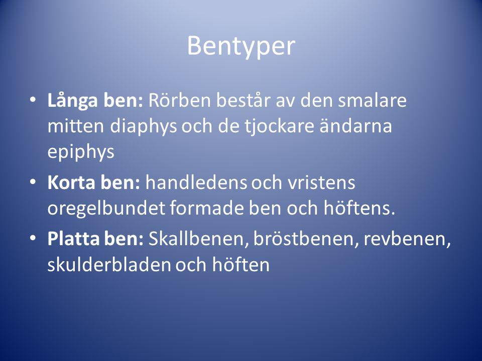 Bentyper Långa ben: Rörben består av den smalare mitten diaphys och de tjockare ändarna epiphys Korta ben: handledens och vristens oregelbundet formade ben och höftens.
