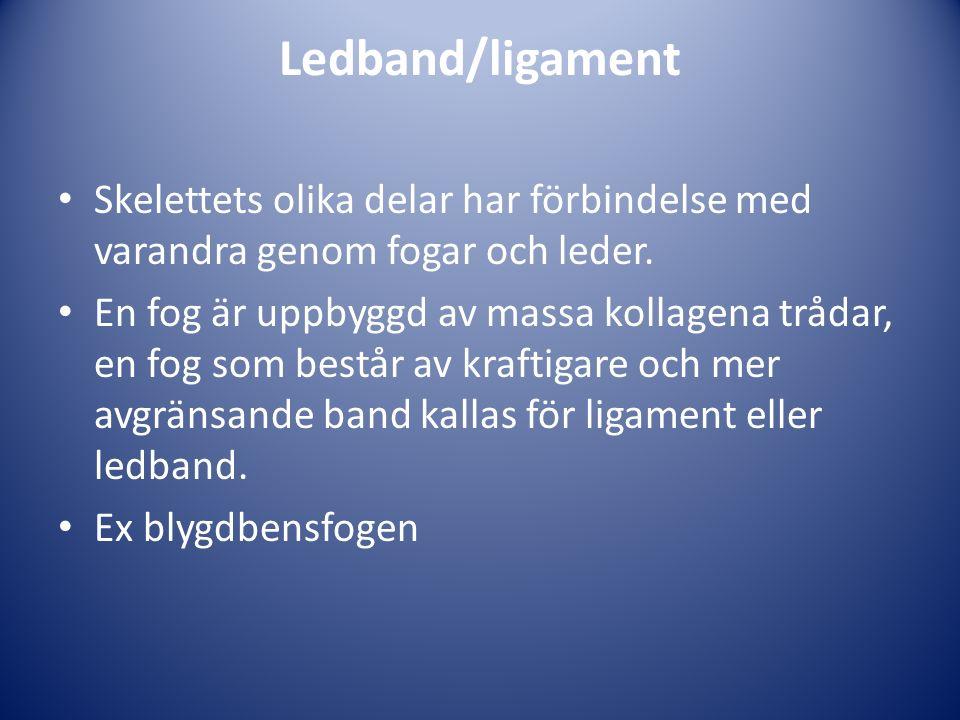 Ledband/ligament Skelettets olika delar har förbindelse med varandra genom fogar och leder.