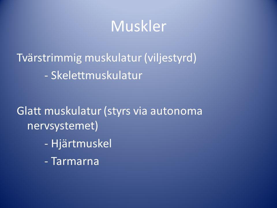 Muskler Tvärstrimmig muskulatur (viljestyrd) - Skelettmuskulatur Glatt muskulatur (styrs via autonoma nervsystemet) - Hjärtmuskel - Tarmarna