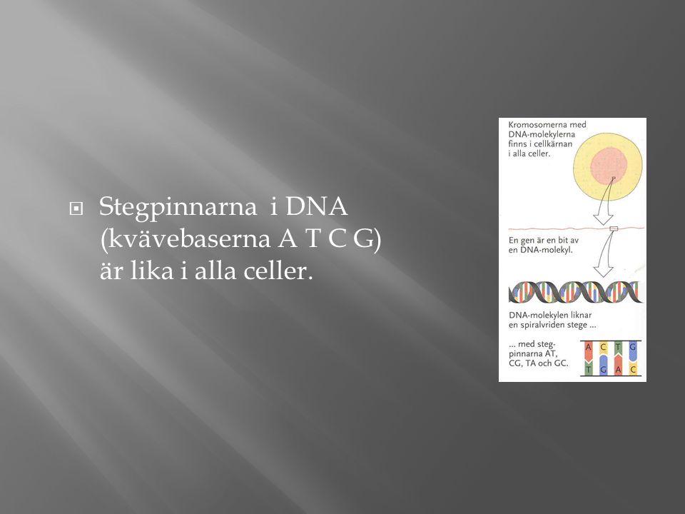  Stegpinnarna i DNA (kvävebaserna A T C G) är lika i alla celler.