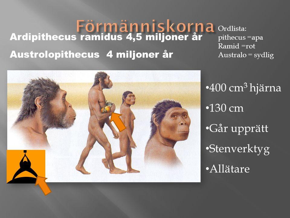 )) 400 cm 3 hjärna 130 cm Går upprätt Stenverktyg Allätare Ardipithecus ramidus 4,5 miljoner år Austrolopithecus 4 miljoner år Ordlista: pithecus =apa Ramid =rot Australo = sydlig