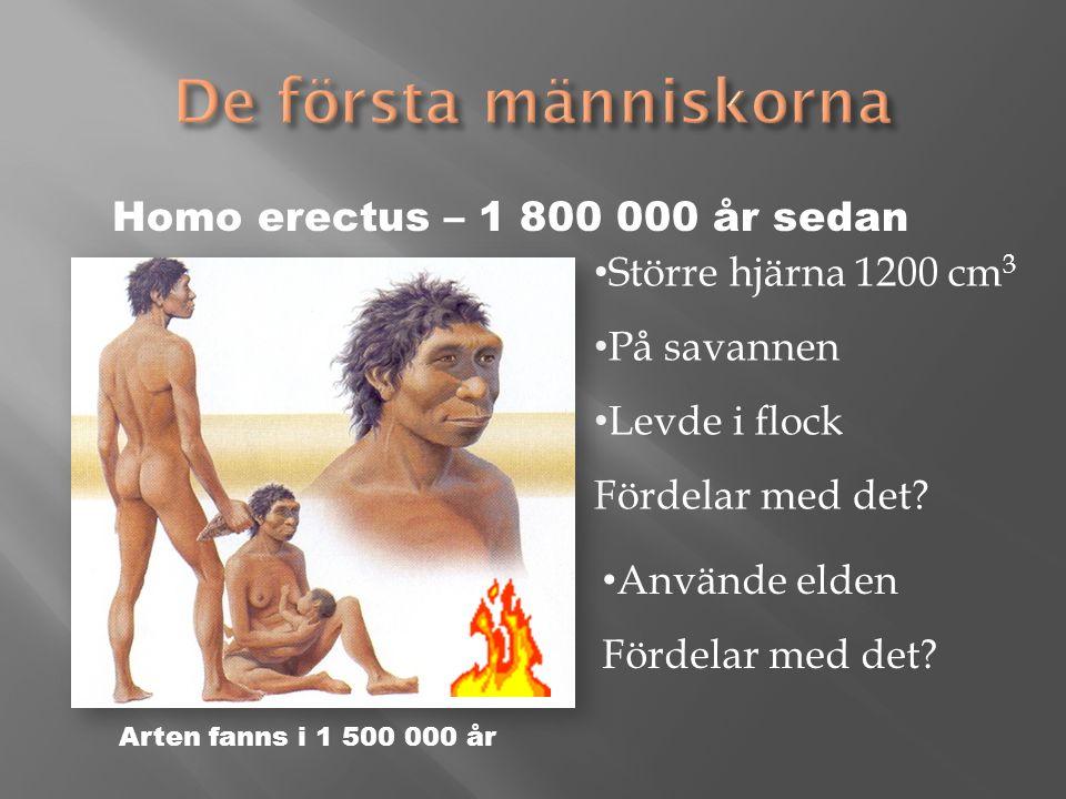 Större hjärna 1200 cm 3 På savannen Levde i flock Fördelar med det.