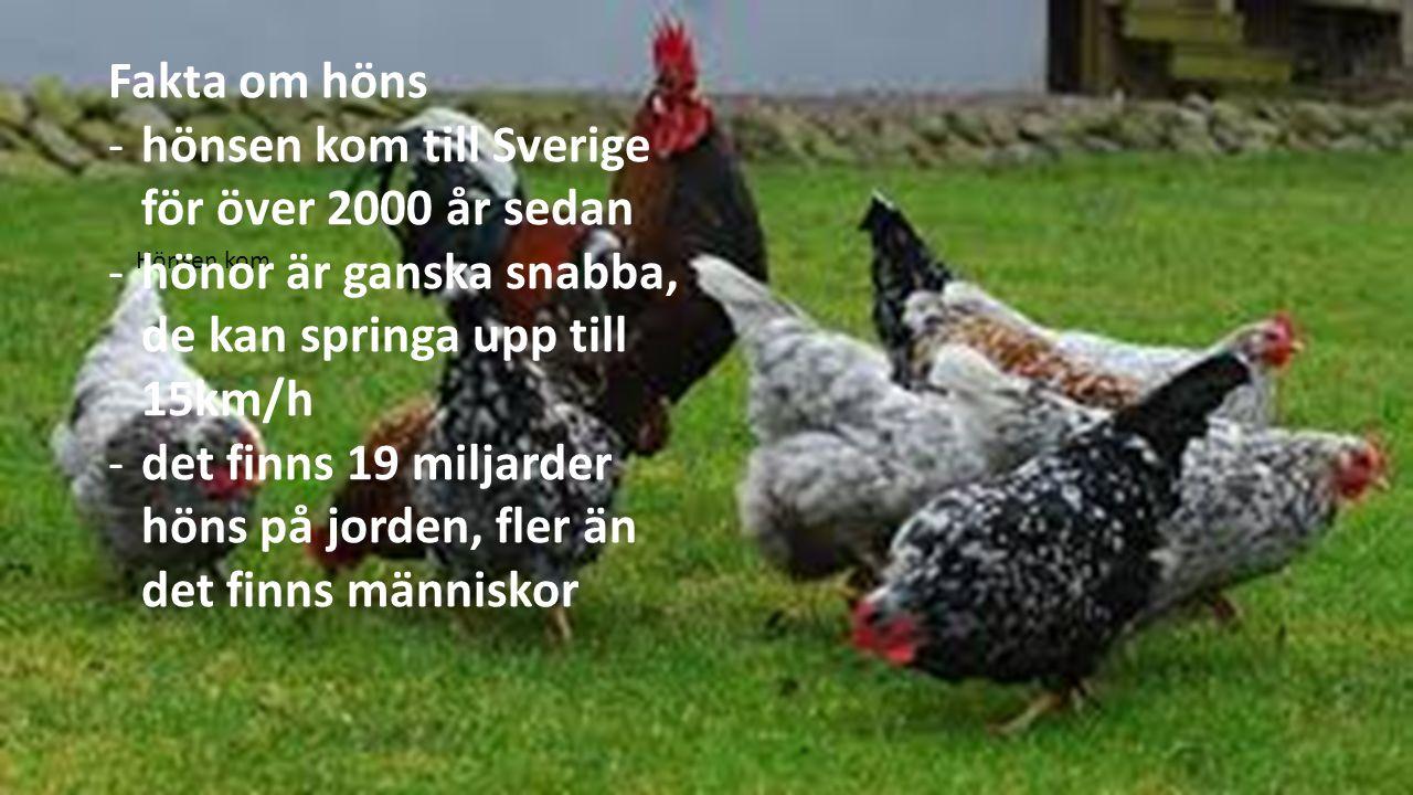 Hönsen kom Fakta om höns -hönsen kom till Sverige för över 2000 år sedan -hönor är ganska snabba, de kan springa upp till 15km/h -det finns 19 miljarder höns på jorden, fler än det finns människor