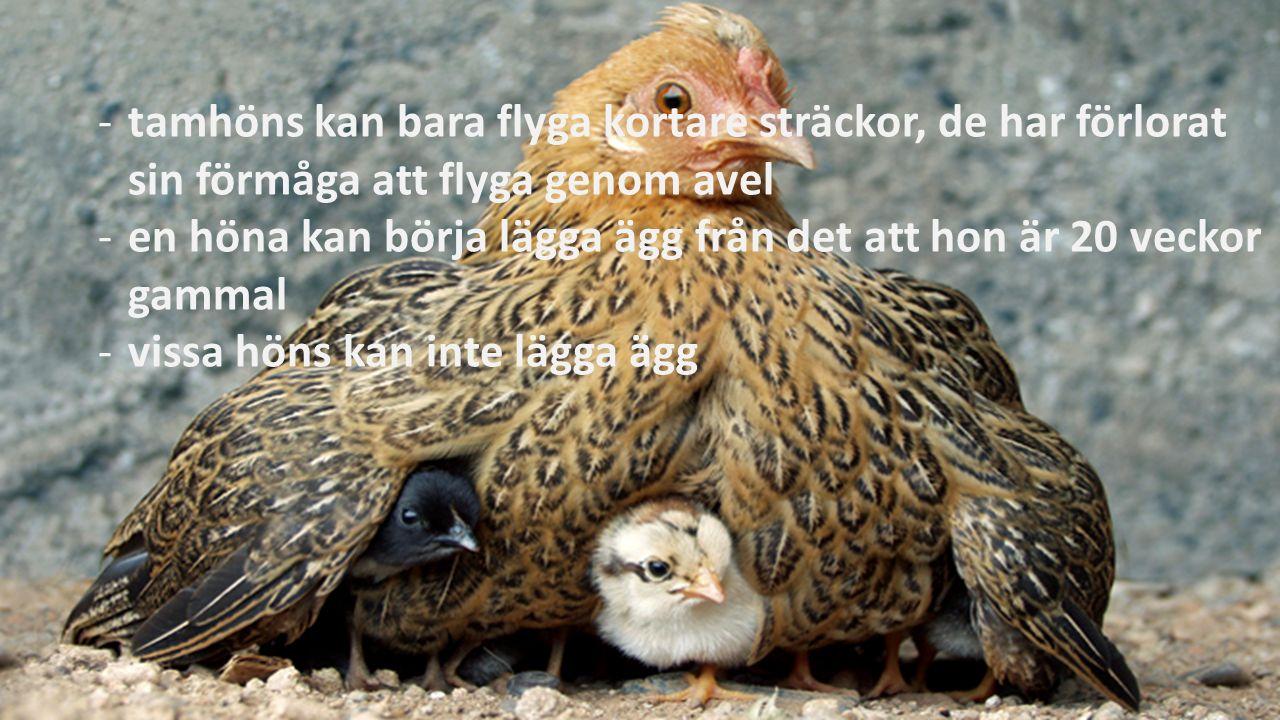 -tamhöns kan bara flyga kortare sträckor, de har förlorat sin förmåga att flyga genom avel -en höna kan börja lägga ägg från det att hon är 20 veckor gammal -vissa höns kan inte lägga ägg