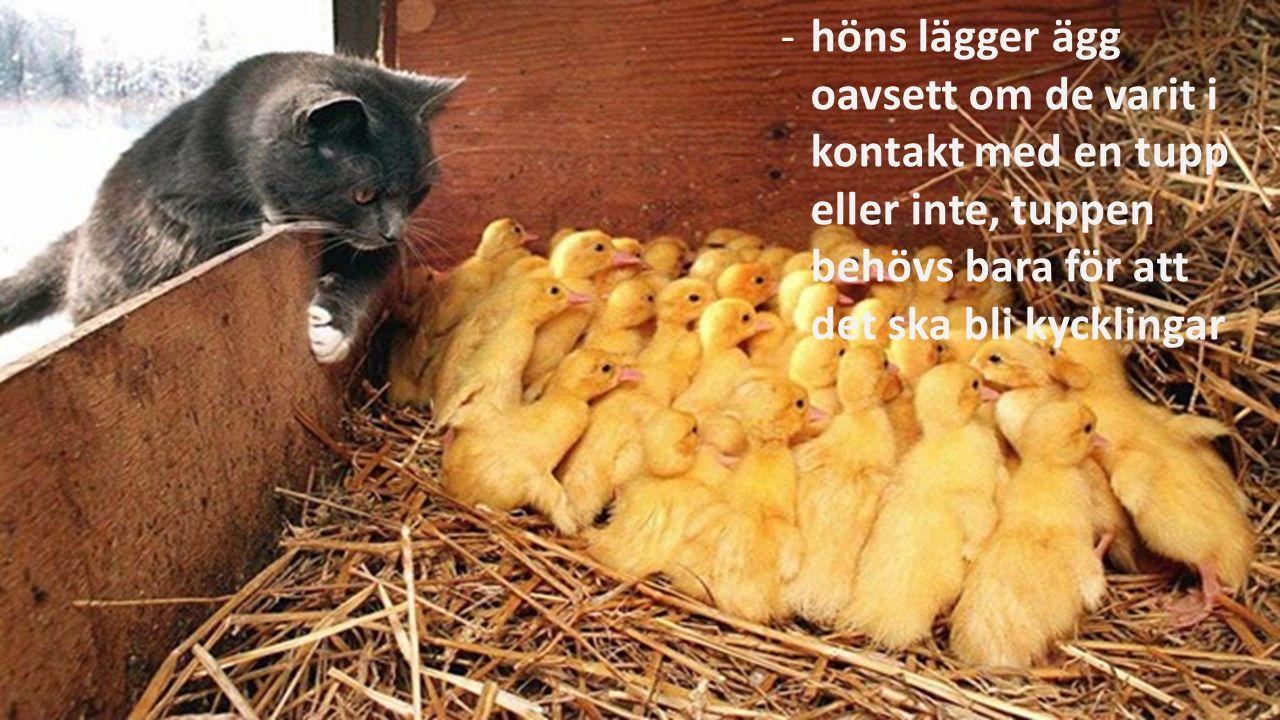 -höns lägger ägg oavsett om de varit i kontakt med en tupp eller inte, tuppen behövs bara för att det ska bli kycklingar