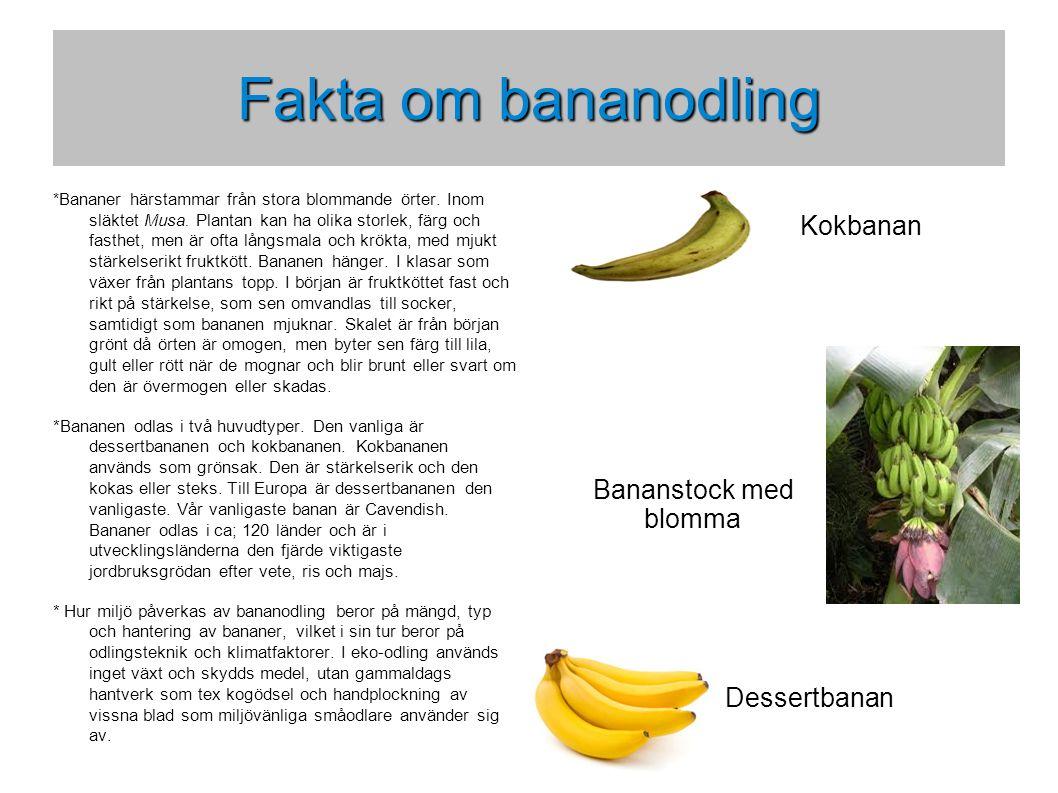 Transport av bananer då och nu * Förr transporterades bananer som bananstockar via bananbåtar till olika importhamnar.
