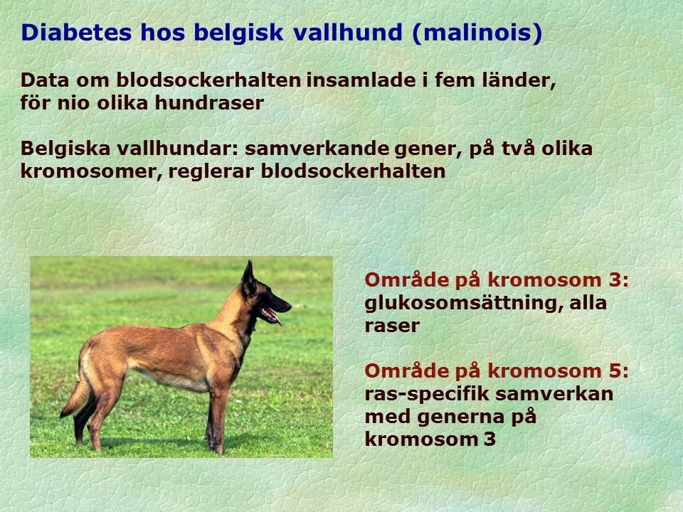 Diabetes hos belgisk vallhund (malinois) Data om blodsockerhalten insamlade i fem länder, för nio olika hundraser Belgiska vallhundar: samverkande gener, på två olika kromosomer, reglerar blodsockerhalten Område på kromosom 3: glukosomsättning, alla raser Område på kromosom 5: ras-specifik samverkan med generna på kromosom 3