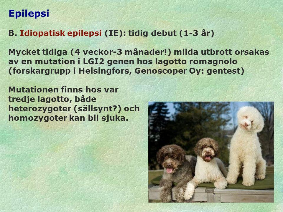 Epilepsi Helsingforsgruppen har nu hittat en muterad gen i kromosom 37 hos belgisk vallhund, där upp till 20% av hundarna kan ha idiopatisk epilepsi.
