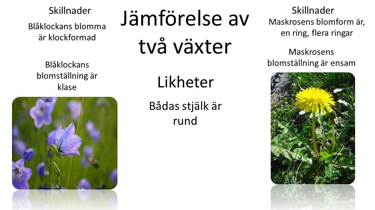 Likheter Skillnader Jämförelse av två växter Blåklockans blomma är klockformad Maskrosens blomställning är ensam Maskrosens blomform är, en ring, flera ringar Blåklockans blomställning är klase Bådas stjälk är rund