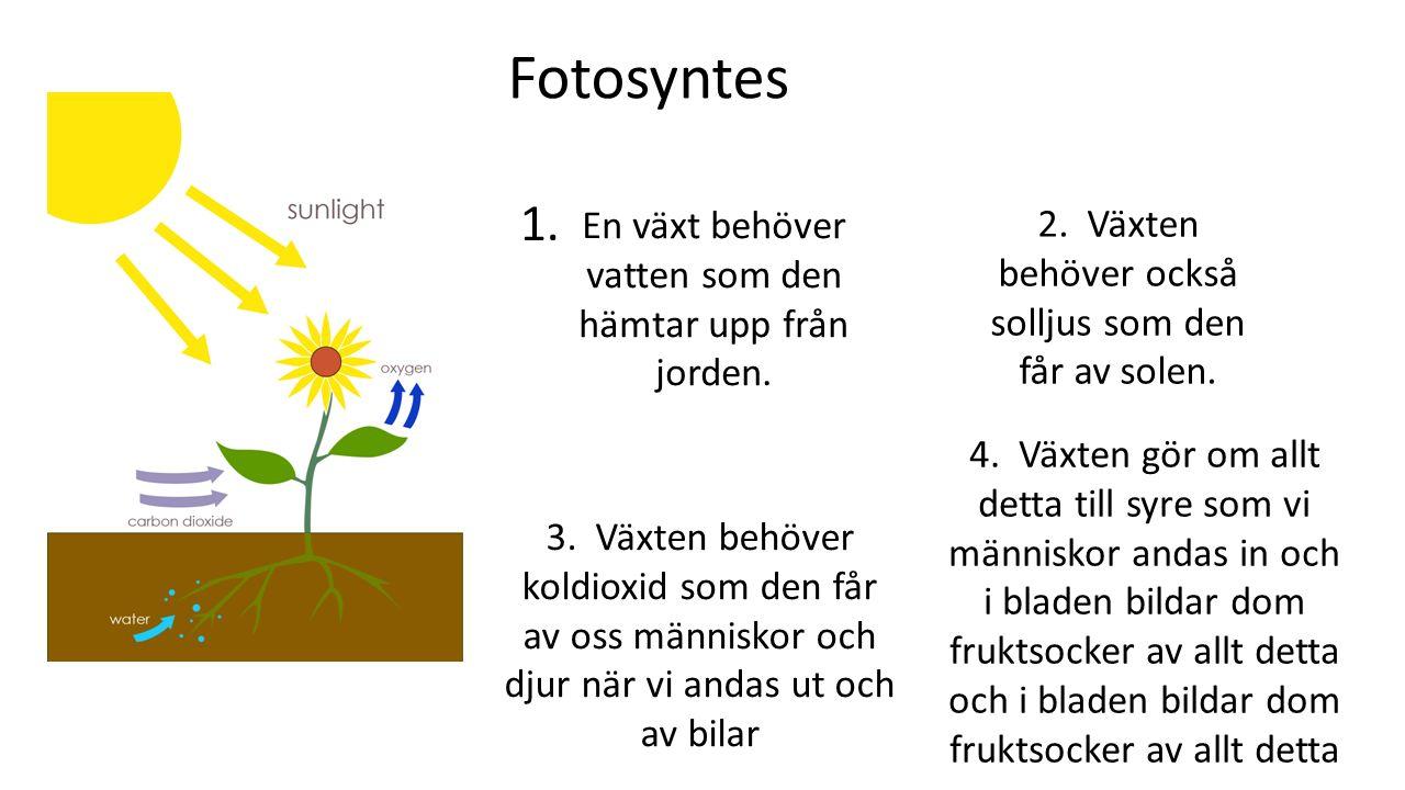 Fotosyntes En växt behöver vatten som den hämtar upp från jorden. 1. 2. Växten behöver också solljus som den får av solen. 3. Växten behöver koldioxid