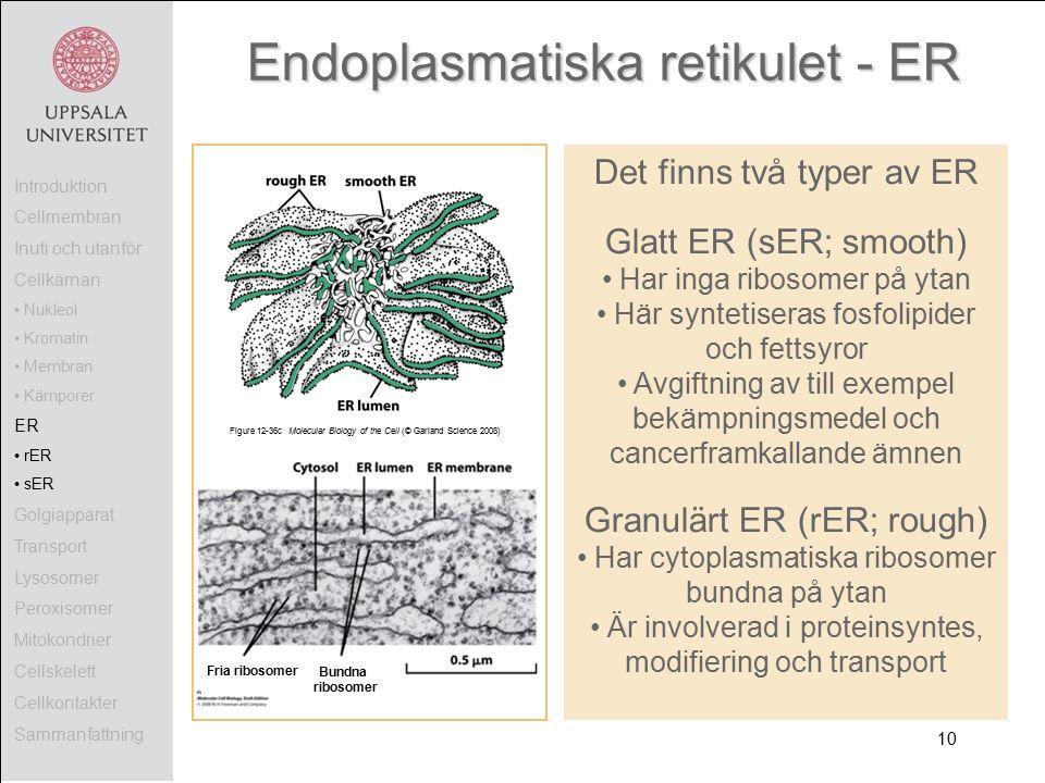 Figure 12-36c Molecular Biology of the Cell (© Garland Science 2008) Endoplasmatiska retikulet - ER Det finns två typer av ER Glatt ER (sER; smooth) Har inga ribosomer på ytan Här syntetiseras fosfolipider och fettsyror Avgiftning av till exempel bekämpningsmedel och cancerframkallande ämnen Granulärt ER (rER; rough) Har cytoplasmatiska ribosomer bundna på ytan Är involverad i proteinsyntes, modifiering och transport Fria ribosomer Bundna ribosomer Introduktion Cellmembran Inuti och utanför Cellkärnan Nukleol Kromatin Membran Kärnporer ER rER sER Golgiapparat Transport Lysosomer Peroxisomer Mitokondrier Cellskelett Cellkontakter Sammanfattning 10
