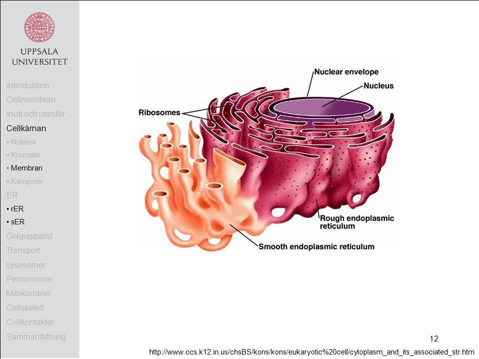 Introduktion Cellmembran Inuti och utanför Cellkärnan Nukleol Kromatin Membran Kärnporer ER rER sER Golgiapparat Transport Lysosomer Peroxisomer Mitokondrier Cellskelett Cellkontakter Sammanfattning http://www.ccs.k12.in.us/chsBS/kons/kons/eukaryotic%20cell/cytoplasm_and_its_associated_str.htm 12