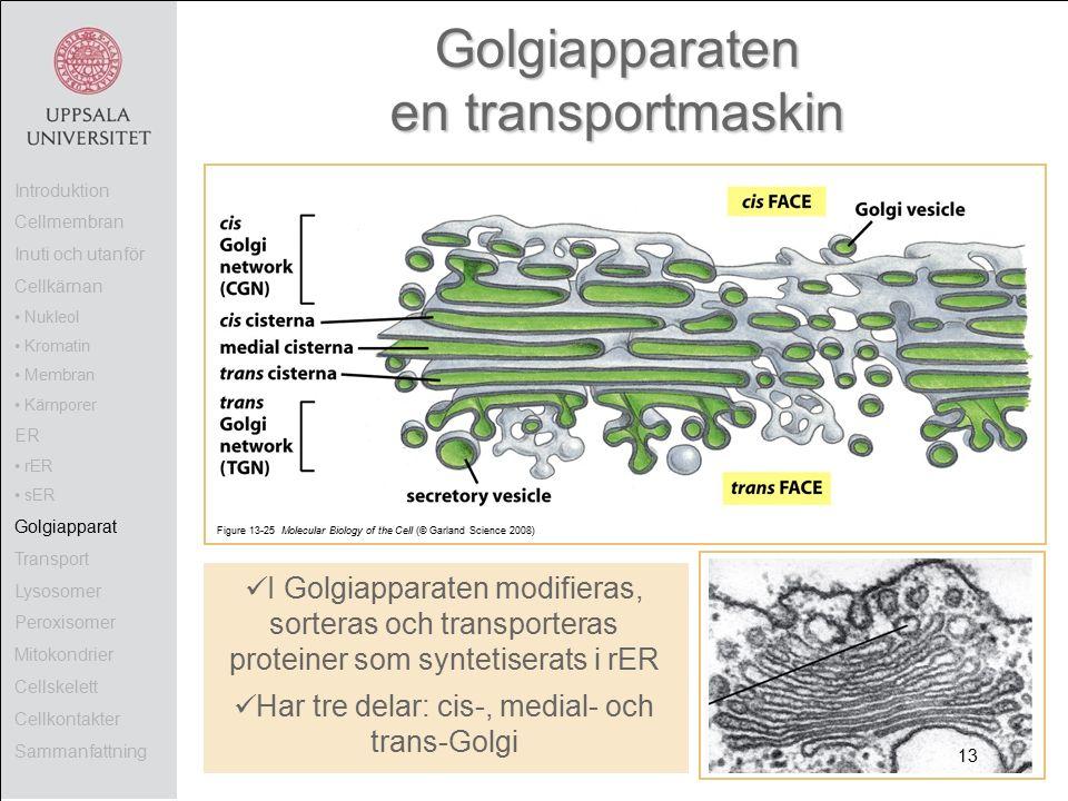 Figure 13-25 Molecular Biology of the Cell (© Garland Science 2008) Golgiapparaten en transportmaskin I Golgiapparaten modifieras, sorteras och transporteras proteiner som syntetiserats i rER Har tre delar: cis-, medial- och trans-Golgi Introduktion Cellmembran Inuti och utanför Cellkärnan Nukleol Kromatin Membran Kärnporer ER rER sER Golgiapparat Transport Lysosomer Peroxisomer Mitokondrier Cellskelett Cellkontakter Sammanfattning 13