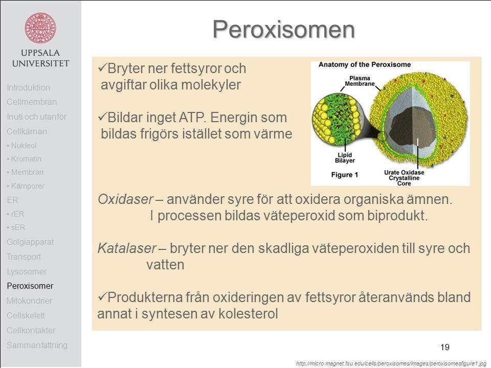 Peroxisomen Bryter ner fettsyror och avgiftar olika molekyler Bildar inget ATP.