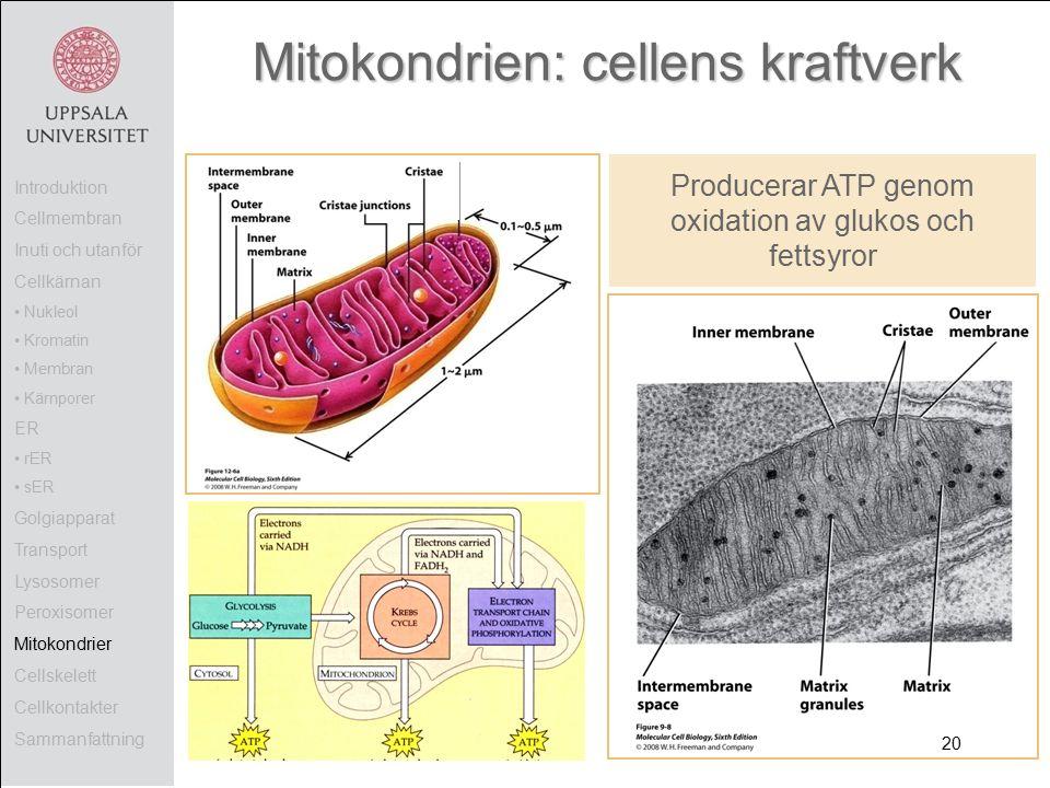 Mitokondrien: cellens kraftverk Producerar ATP genom oxidation av glukos och fettsyror Introduktion Cellmembran Inuti och utanför Cellkärnan Nukleol Kromatin Membran Kärnporer ER rER sER Golgiapparat Transport Lysosomer Peroxisomer Mitokondrier Cellskelett Cellkontakter Sammanfattning 20