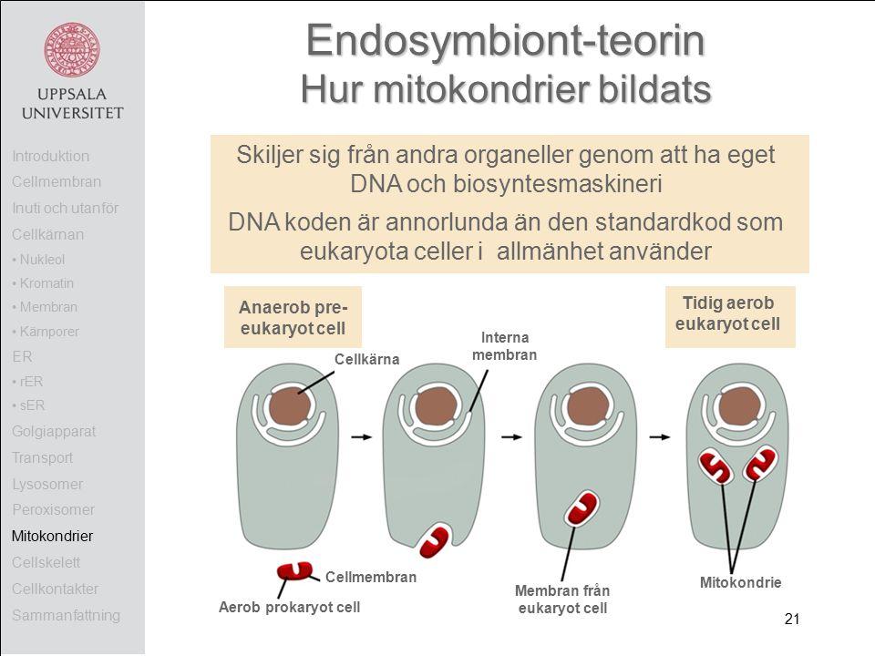 Endosymbiont-teorin Hur mitokondrier bildats Aerob prokaryot cell Mitokondrie Membran från eukaryot cell Cellkärna Anaerob pre- eukaryot cell Tidig aerob eukaryot cell Interna membran Skiljer sig från andra organeller genom att ha eget DNA och biosyntesmaskineri DNA koden är annorlunda än den standardkod som eukaryota celler i allmänhet använder Introduktion Cellmembran Inuti och utanför Cellkärnan Nukleol Kromatin Membran Kärnporer ER rER sER Golgiapparat Transport Lysosomer Peroxisomer Mitokondrier Cellskelett Cellkontakter Sammanfattning 21 Cellmembran