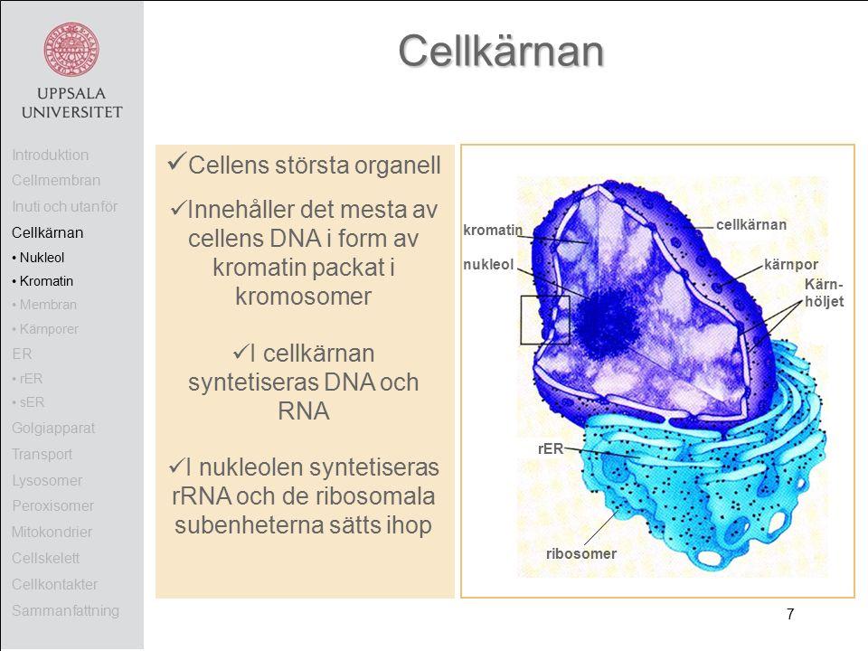 Cellkärnan Cellens största organell Innehåller det mesta av cellens DNA i form av kromatin packat i kromosomer I cellkärnan syntetiseras DNA och RNA I nukleolen syntetiseras rRNA och de ribosomala subenheterna sätts ihop cellkärnan kromatin nukleol rER ribosomer Introduktion Cellmembran Inuti och utanför Cellkärnan Nukleol Kromatin Membran Kärnporer ER rER sER Golgiapparat Transport Lysosomer Peroxisomer Mitokondrier Cellskelett Cellkontakter Sammanfattning Kärn- höljet kärnpor 7