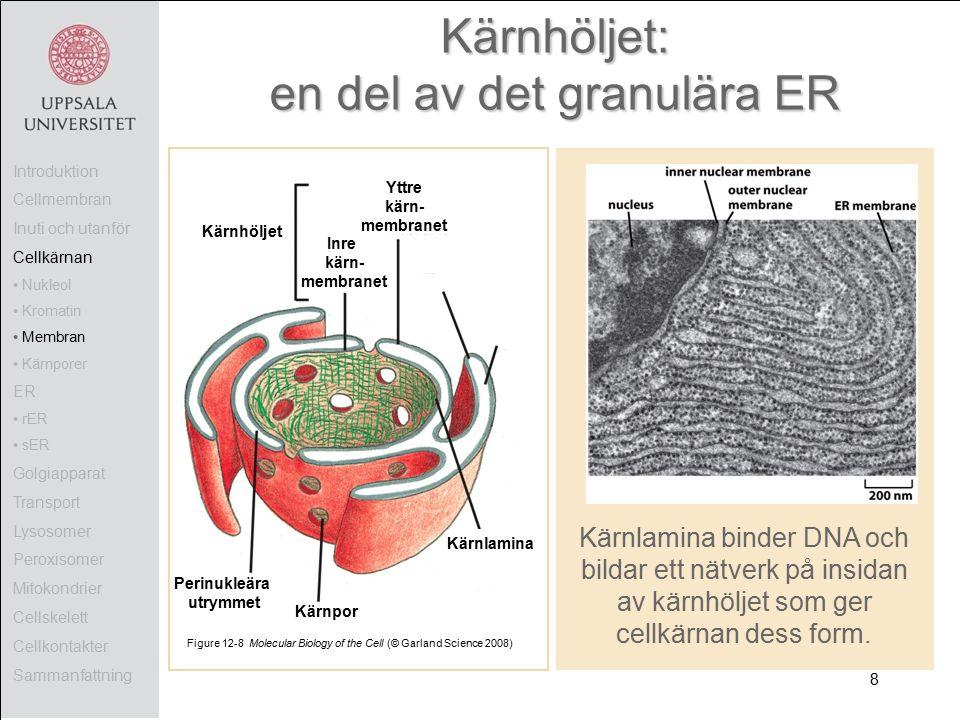 Kärnhöljet: en del av det granulära ER Figure 12-8 Molecular Biology of the Cell (© Garland Science 2008) Kärnhöljet Yttre kärn- membranet Kärnlamina Kärnpor Perinukleära utrymmet Kärnlamina binder DNA och bildar ett nätverk på insidan av kärnhöljet som ger cellkärnan dess form.
