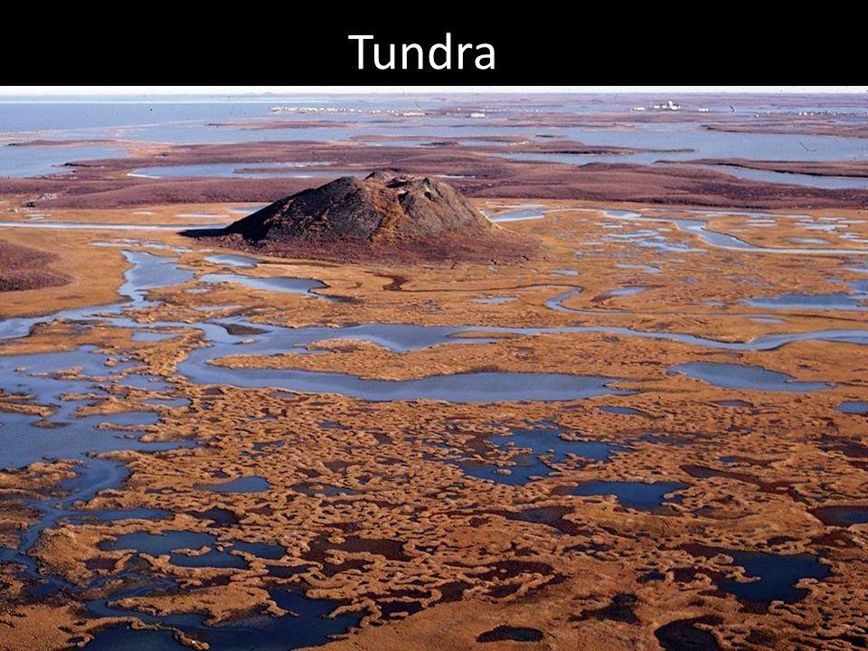 Abiotisk miljö - Tundra Permafrost är vanligt förekommande.