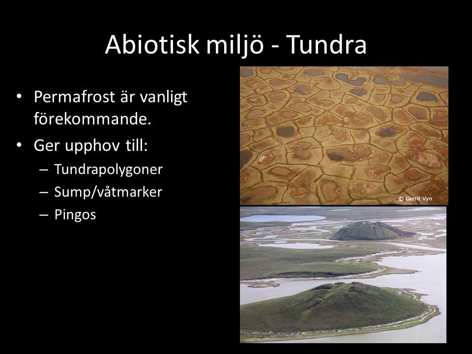 Abiotisk miljö - Tundra Permafrost är vanligt förekommande. Ger upphov till: – Tundrapolygoner – Sump/våtmarker – Pingos