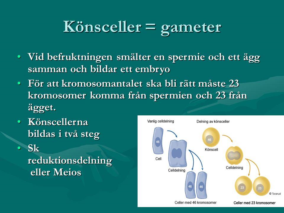 Könsceller = gameter Vid befruktningen smälter en spermie och ett ägg samman och bildar ett embryoVid befruktningen smälter en spermie och ett ägg samman och bildar ett embryo För att kromosomantalet ska bli rätt måste 23 kromosomer komma från spermien och 23 från ägget.För att kromosomantalet ska bli rätt måste 23 kromosomer komma från spermien och 23 från ägget.