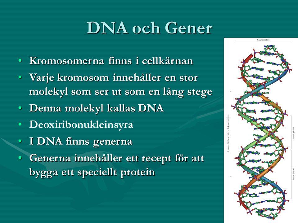 DNA och Gener Kromosomerna finns i cellkärnanKromosomerna finns i cellkärnan Varje kromosom innehåller en stor molekyl som ser ut som en lång stegeVarje kromosom innehåller en stor molekyl som ser ut som en lång stege Denna molekyl kallas DNADenna molekyl kallas DNA Deoxiribonukleinsyra I DNA finns genernaI DNA finns generna Generna innehåller ett recept för att bygga ett speciellt proteinGenerna innehåller ett recept för att bygga ett speciellt protein
