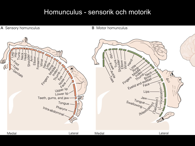 Homunculus - sensorik och motorik