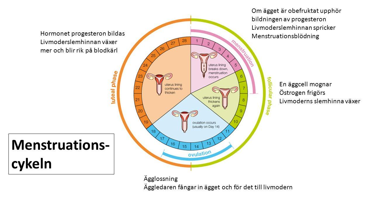En äggcell mognar Östrogen frigörs Livmoderns slemhinna växer Om ägget är obefruktat upphör bildningen av progesteron Livmoderslemhinnan spricker Mens