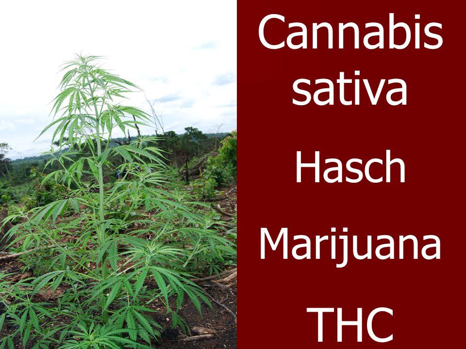 Cannabis sativa Hasch Marijuana THC